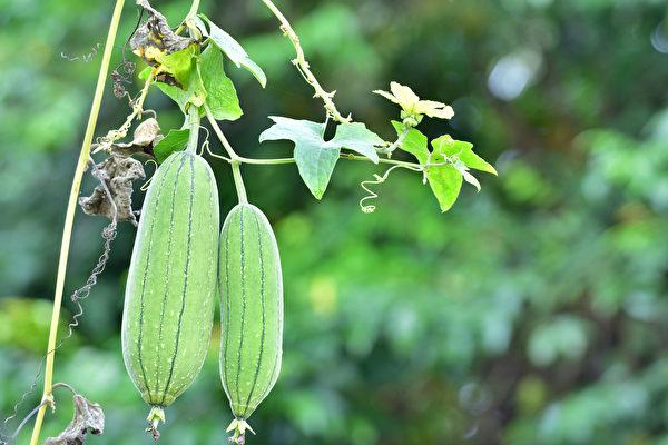 吃丝瓜能利尿消水肿、消火除痘、缓解便秘。用丝瓜布刷身体还可去淋巴毒,延缓皮肤老化。(Shutterstock)