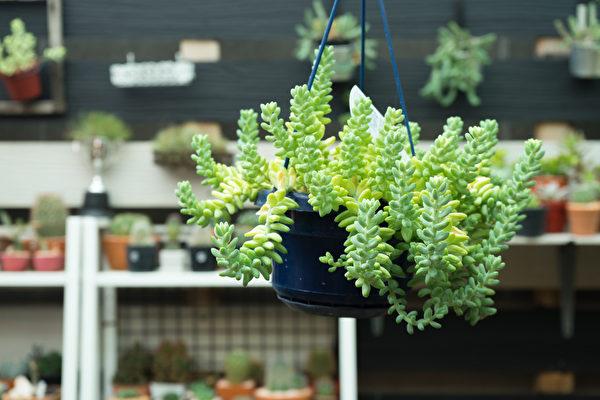 室内悬挂植物