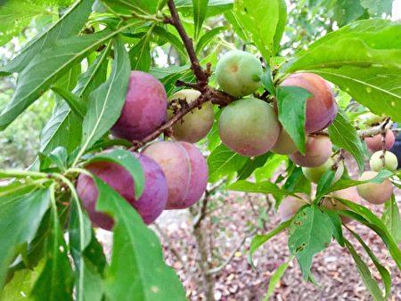 吳孢鍾用農莊生產的水果釀醋。
