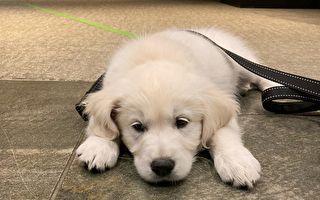 牛頓警局新增服務犬「Leo」