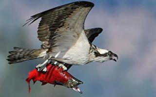 魚鷹捉到紅鮭魚後在空中「定格」的罕見畫面