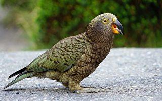 Kea鸚鵡竟會觸屏 但真實虛擬就傻傻分不清