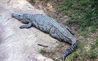 鱷魚在屋外趴趴走 美國男子用奇招抓住牠