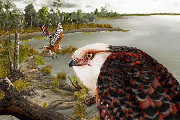 鷹家族新物種化石驚現澳洲 距今2500萬年