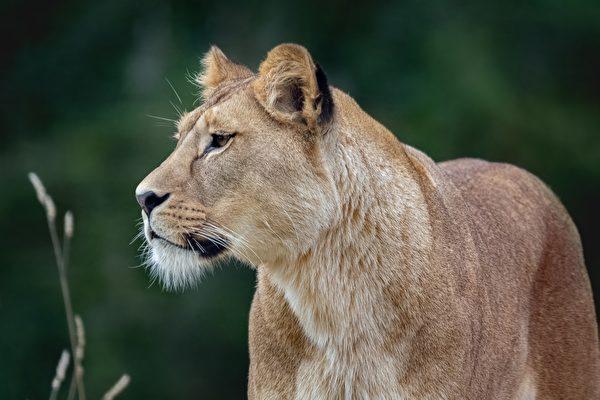 狮子从公厕里冒出来 让人看傻眼
