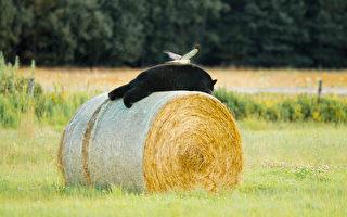 一隻北鷂和在乾草捆上打盹的黑熊罕見同框