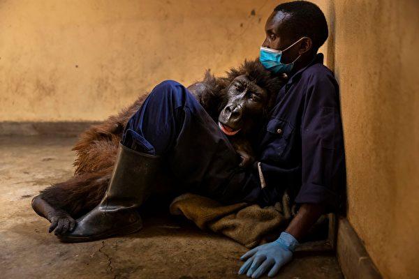 曾因自拍爆红 大猩猩临终前拥抱一生的恩人