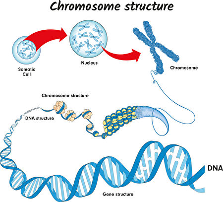 研究:連接組蛋白控制染色體的形狀