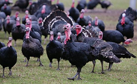 英國人擔心聖誕大餐 直接從農場訂購火雞