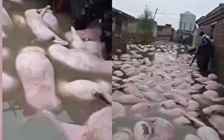 山西一村被洪水淹沒 大量豬隻死亡
