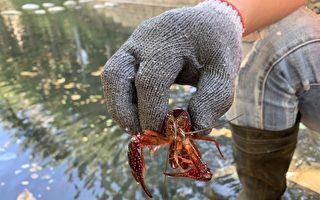 小龍蝦大舉入侵竹市護城河 5天捕撈3000隻