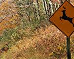 进入秋季 开车当心路上鹿