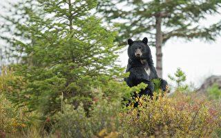 熊與老虎對峙 看到人卻嚇跑了