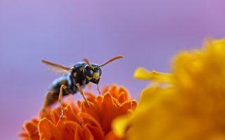 英除虫专家在阁楼摘除1公尺蜂巢 毕生首见