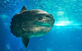 上吨重巨大翻车鱼被捕获 磅秤破表无法量测