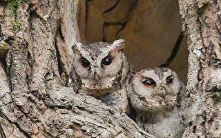 連八年築巢集集樟樹公 鳥友細心守護貓頭鷹